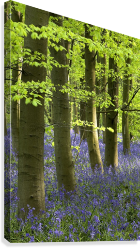 Bluebells In The Woods, Nottinghamshire, England  Canvas Print