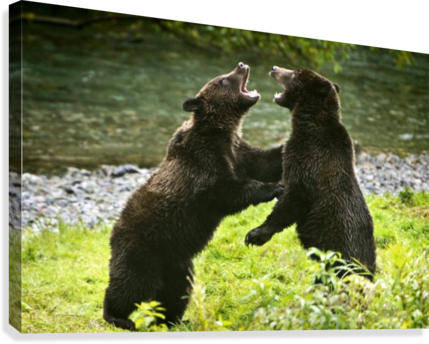 Two Grizzly Bears Fighting  Canvas Print