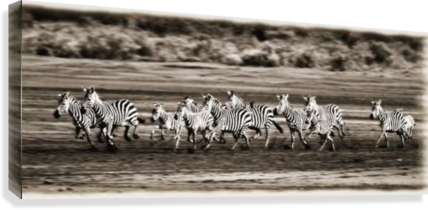 Running Zebras, Serengeti National Park, Tanzania, Africa  Canvas Print