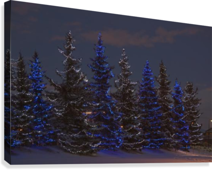 Calgary, Alberta, Canada; A Row Of Evergreen Trees With Christmas Lights  Canvas Print