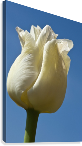 A White Tulip Against A Blue Sky; Northumberland, England  Canvas Print