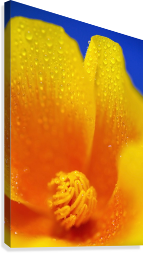 Close Up Of A Poppy With Dew On The Petals; Happy Valley, Oregon, Usa  Canvas Print