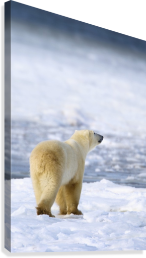 Polar Bear (Ursus Maritimus) Sniffs The Air As He Is On The Hunt For Food; Churchill, Manitoba, Canada  Canvas Print