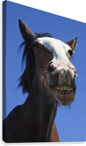 A Horse Smiling And Showing It's Teeth; Northumberland, England  Canvas Print