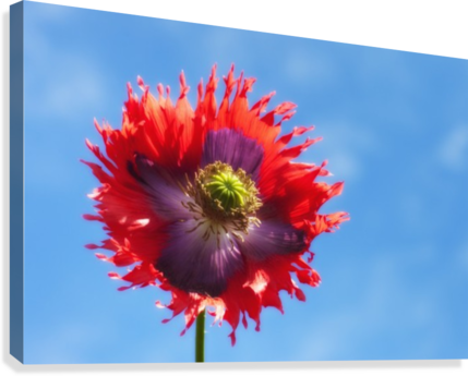 A Colorful Flower With Red And Purple Petals Against A Blue Sky; Northumberland, England  Canvas Print
