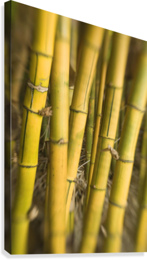 Close-Up Of Bamboo Stalks.  Canvas Print