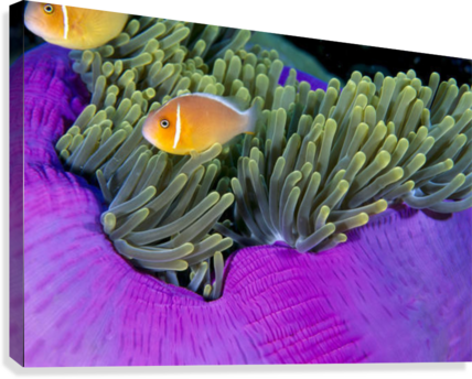 Palau, Anemonefish In Pink Anemone (Amphiprion Perideraion) B1952  Canvas Print