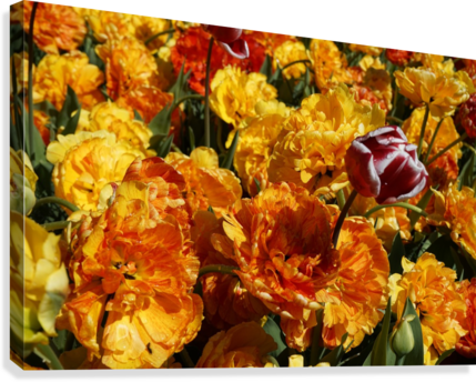 Tulips of the Netherlands 2 of 7  Canvas Print