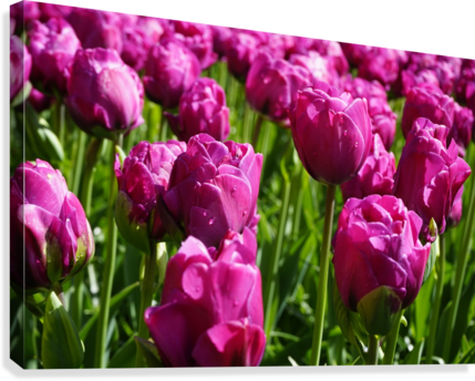 Tulips of the Netherlands 7 of 7  Canvas Print