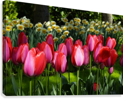Tulips of the Netherlands 4 of 7  Canvas Print
