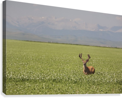Male Deer With Antlers In A Flowering Pea Field With Mountains And Foothills In The Background; Alberta, Canada  Canvas Print