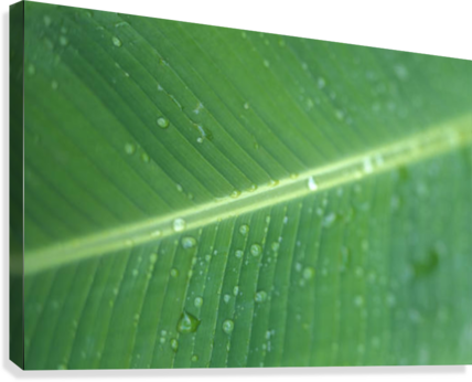 Close-Up Detail Green Banana Leaf With Droplets Of Water, Dew  Canvas Print