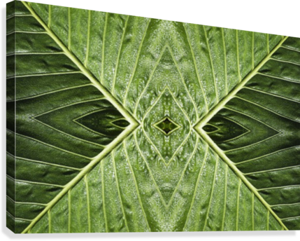 Close up of vein patterns in leaves;Gold coast queensland australia  Canvas Print
