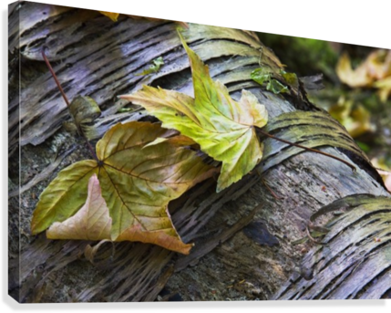 Maple leaves in autumn as they lay across a rotting log in a forest;British columbia canada  Canvas Print