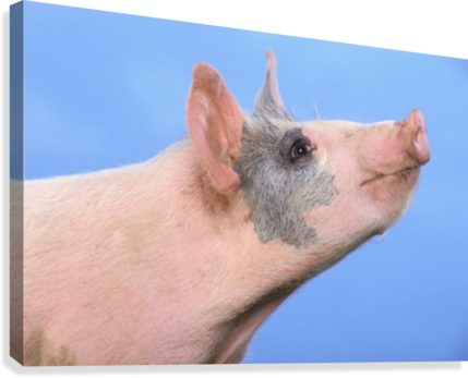 Pig with a blue background;British columbia canada  Canvas Print