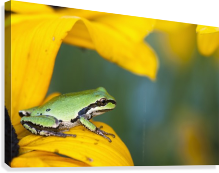 A Pacific Tree Frog (Pseudacris Regilla) Hunts For Insects On A Rudbeckia Blossom; Astoria, Oregon, United States Of America  Canvas Print
