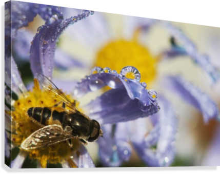A Fly Rests On Aster Blossoms; Astoria, Oregon, United States Of America  Canvas Print