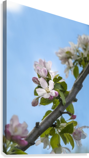 Pink and white crabapple flowers against a blue sky; Toronto, Ontario, Canada  Canvas Print