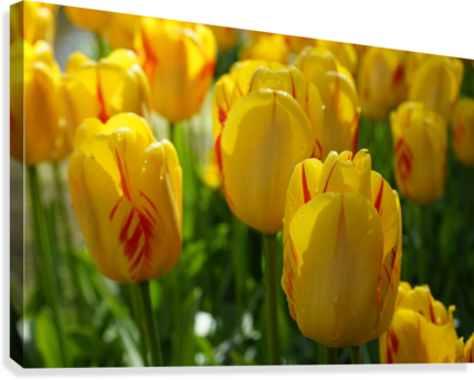 Spring Blooms of Holland 1 of 8  Canvas Print