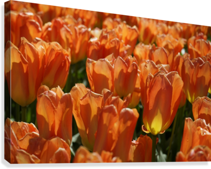 Spring Blooms of Holland 4 of 8  Canvas Print