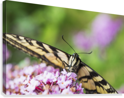A swallowtail butterfly seeks nectar on a butterfly bush; Astoria, Oregon, United States of America  Canvas Print
