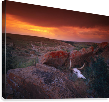 Cow Skull With Large Rocks In Field With Sunset, Writing On Stone Provincial Park, Alberta, Canada  Canvas Print