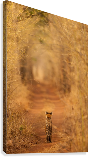 The Tiger in  the Tunnel  Canvas Print