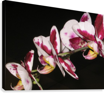 Sexy Orchid  Canvas Print