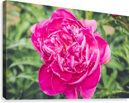 Deadly Beautiful Peonies  Canvas Print
