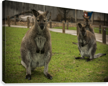 Intriguing   Wallaby   Canvas Print