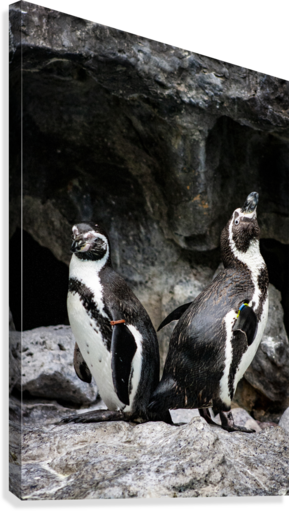 Posing for the Camera  Penguin   Canvas Print