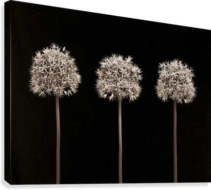 Three allium flowers  Canvas Print