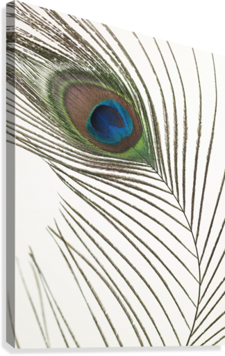 Peacock feather  Impression sur toile