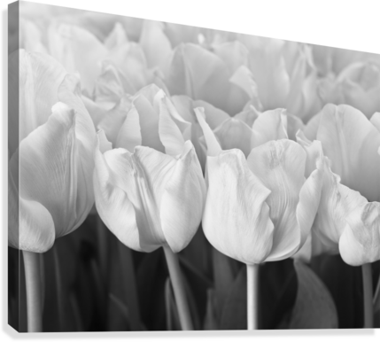 Bunch of Tulips close-up  Canvas Print