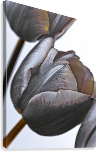 Tulip flowers on white background  Canvas Print