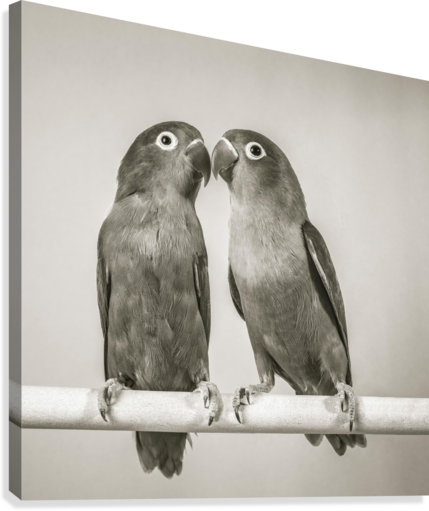 Two love birds kissing  Canvas Print