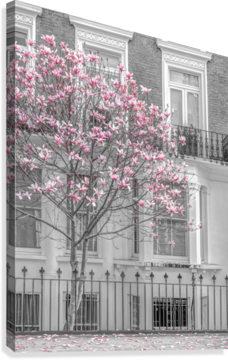 Magnolia tree outside house in London  Canvas Print
