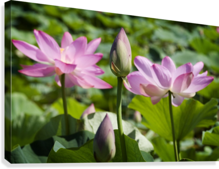 Lots bud with blooming lotus flowers behind  Canvas Print