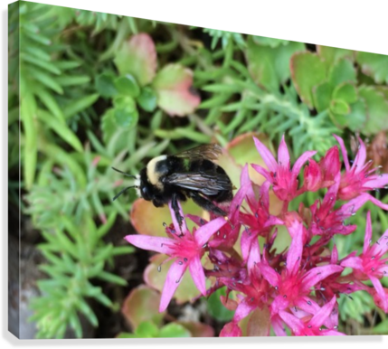 Bumblebee Visitor Canvas print