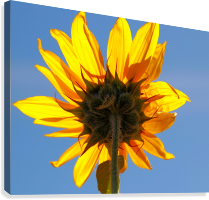 Glowing Heliopsis  Canvas Print