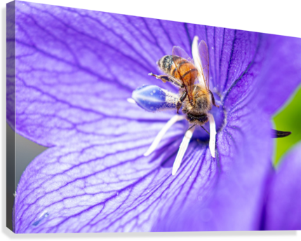 POLLINATING BEE CAMERAMAN KLEIN  Canvas Print