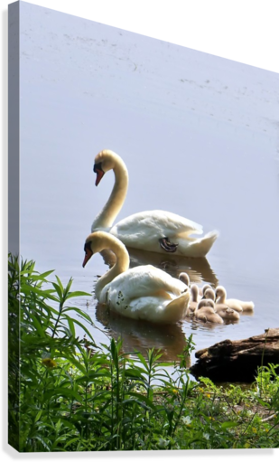 Swans and Sygnets on lake  Canvas Print