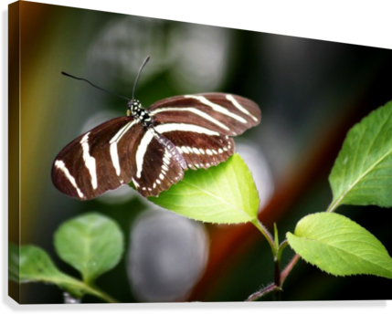 Stripped Butterfly  Canvas Print