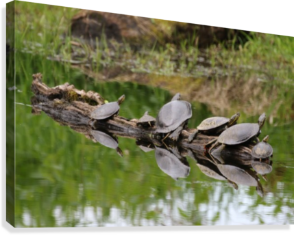Turtle reflections  Canvas Print