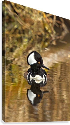 Hooded Merganser Drake Reflection-portrait  Canvas Print