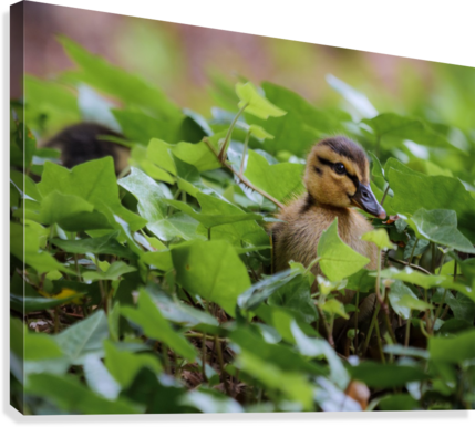 Duck In Plants  Canvas Print