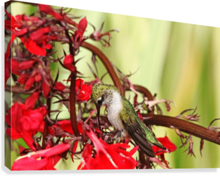 Hummingbird Giving Thanks  Canvas Print