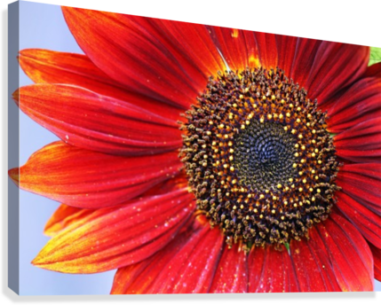 Ruby Red Sunflower  Canvas Print