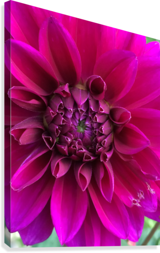 DAHLIA DEBBIE CAUGHEY  Canvas Print