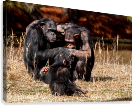 CHIMPANZEE FAMILY ERIC FRANKS PHOTOGRAPHY  Canvas Print